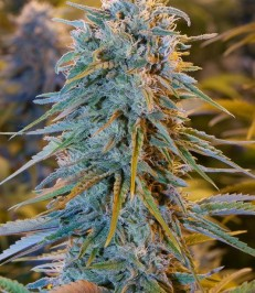Graine de cannabis Blue Dream de chez Humboldt Seeds