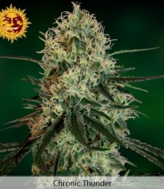 Graine de cannabis Chronic Thunder de chez Barney's Farm Seeds