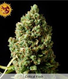 Graine de cannabis Critical Kush féminisée de chez Barney's Farm Seeds