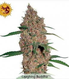 Graine de cannabis Laughing Buddha de chez Barney's Farm Seeds