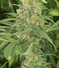 Graine de cannabis Green Crack de chez Humboldt Seeds