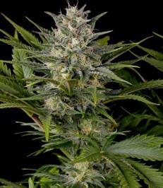Graine de cannabis Pineapple Skunk de chez Humboldt Seeds