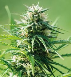 Graine de cannabis Sweet Tooth auto de chez Barney's Farm Seeds