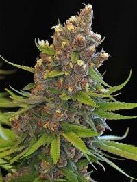 Graine de cannabis Ace of Spades régulière de chez Tga Subcools Seeds