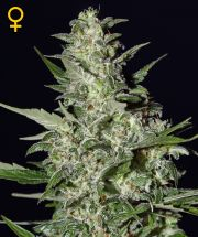 Graine de cannabis Super Critical Auto de chez Green House Seeds
