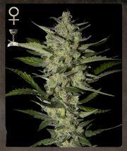 Graine de cannabis Flowerbomb Kush de chez Strain Hunters Seeds