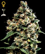 Graine de cannabis Jack Herer de chez Green House Seeds