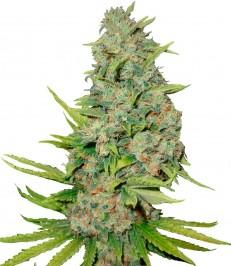 Graine de cannabis AK 47 AUTO de chez Bulk Seeds