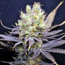 Graine de cannabis CBD Nordle de chez CBD Crew