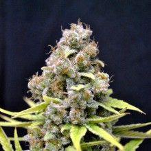 Graine de cannabis CBD SharkShock de chez CBD Crew