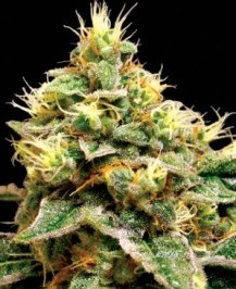 Graine de cannabis Confidential Cheese de chez DNA Seeds