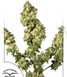 Graine de cannabis Ultra Skunk de chez Dutch Passion