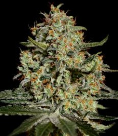 Graine de cannabis Big Bang de chez Green House Seeds