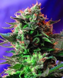 Graine de cannabis Jack 47 F1 Fast Version de chez Sweet Seeds
