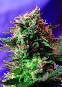 Graine de cannabis Jack 47 F1 Fast Version de chez Sweet Seeds
