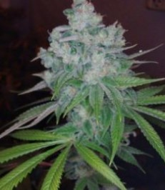 Graine de cannabis Kandy Kush de chez DNA Seeds