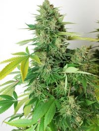 Graine de cannabis Afghanchitral de chez Undergroung Seeds Collective