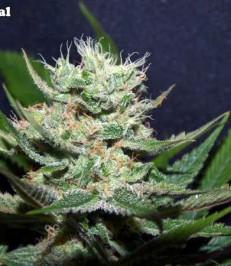 Graine de cannabis Cheesetral de chez Undergroung Seeds Collective