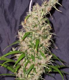Graine de cannabis Double Jam de chez Undergroung Seeds Collective