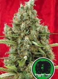 Graine de cannabis Session