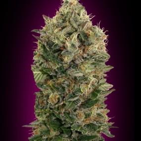 Graines de cannabis auto floraison