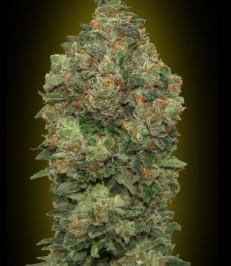 Graine de cannabis Auto Critical Soma de chez Advanced Seeds