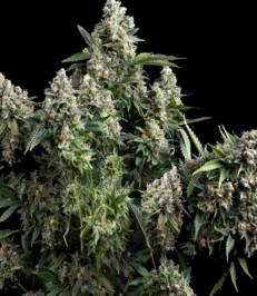 Graine de cannabis Toutankhamon de chez Pyramid Seeds