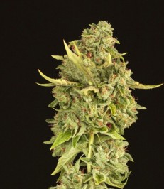 Graine de cannabis Hells Bells de chez The Devil's Harvest Seeds