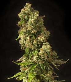Graine de cannabis John Doe de chez The Devil's Harvest Seeds