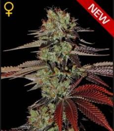 Graine-de-cannabis-King-s-Kush-Auto-de-chez-Green-House