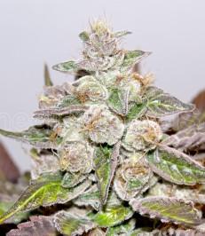 Graine de cannabis Mendocino Purple Kush de chez Medical Seeds