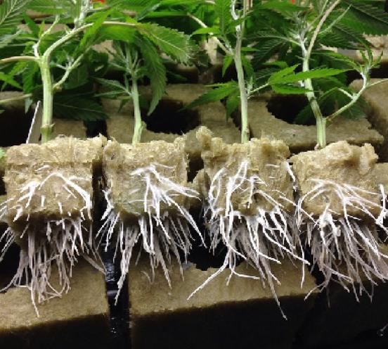 comment-faire-une-bouture-de-cannabis-boutures-racinees-laine-de-roche