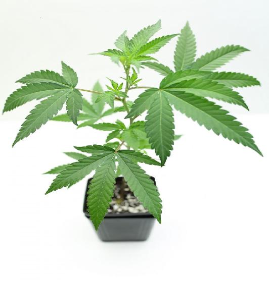comment-faire-une-bouture-de-cannabis-boutures-racinees-terre