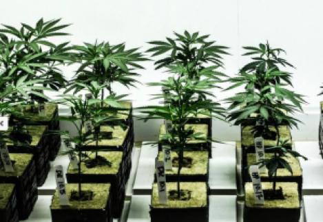 comment-faire-une-bouture-de-cannabis-jeunes-boutures-laine-de-roche