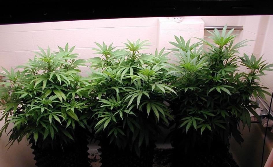 comment-faire-une-bouture-de-cannabis-plantes-mere-air-pot-prete-pour-prelevement