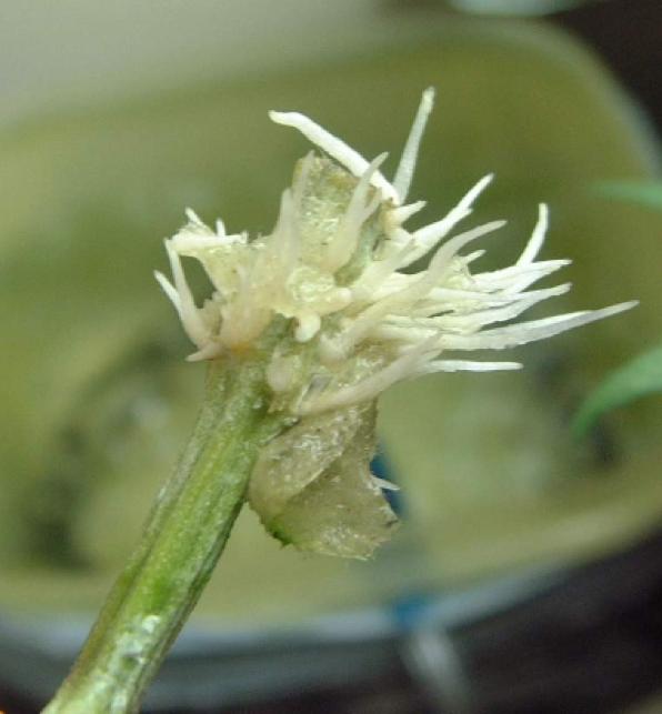 comment-faire-une-bouture-de-cannabis-rhizogenese-premieres-racines