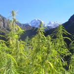 Culture de cannabis en extérieur : LE guide dispensé par un PRO !