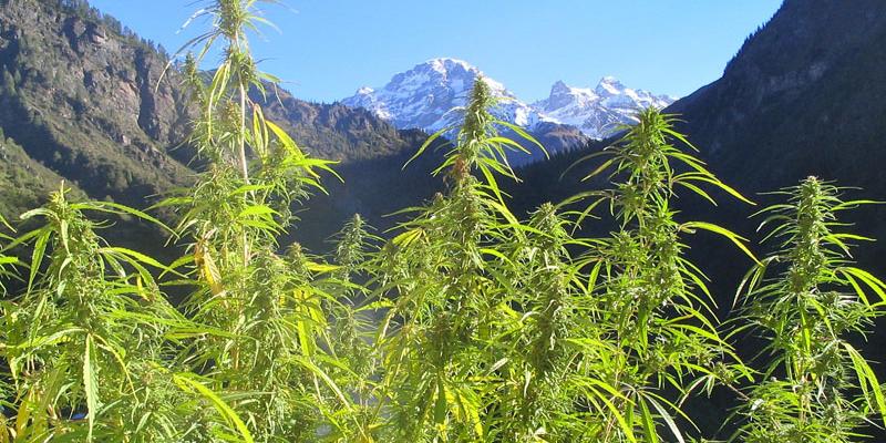 culture de cannabis en extérieur