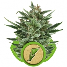 Graine de cannabis Quick One de chez Royal Queen Seeds