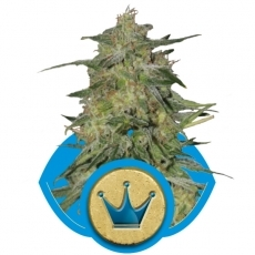 Graine de cannabis Royal Highness de chez Royal Queen Seeds