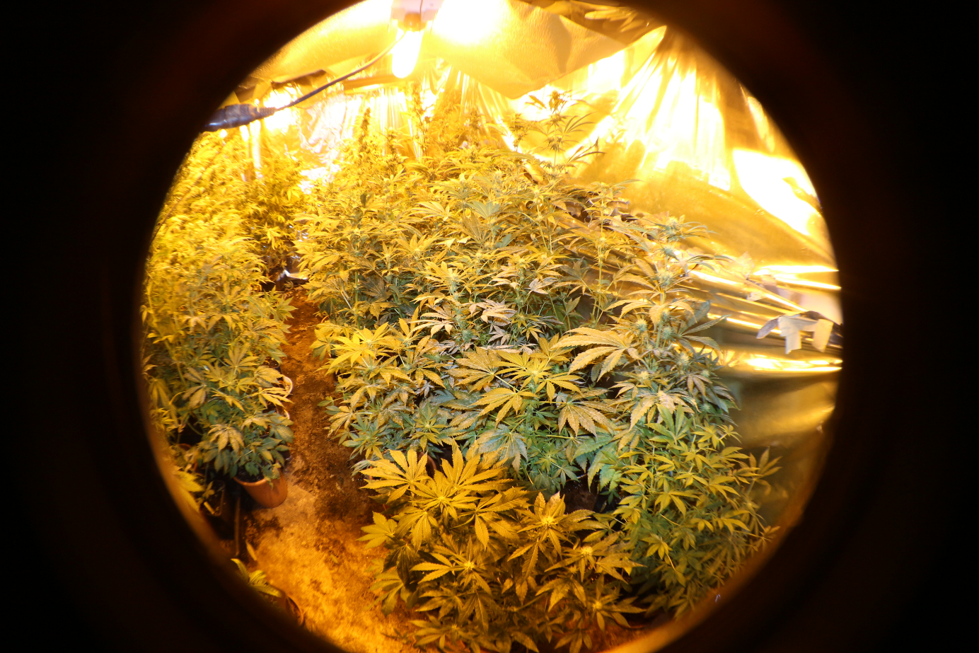 Comment-cultiver-du-cannabis-culture-indoor