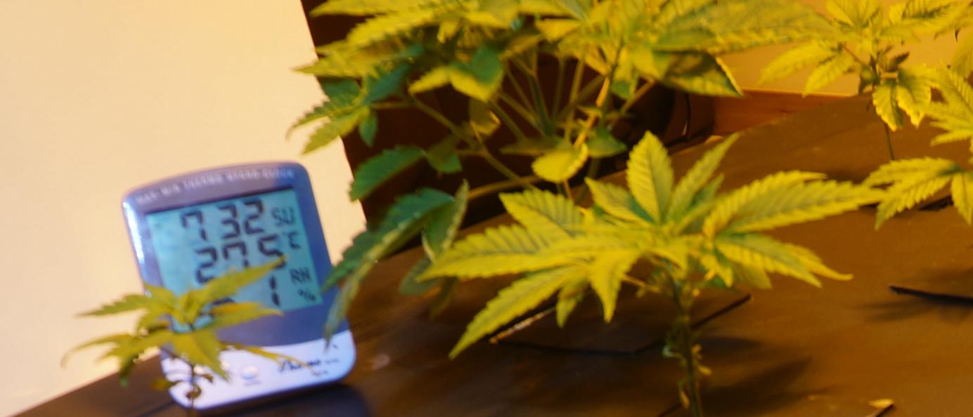 Comment-cultiver-du-cannabis-debut-de-croissance