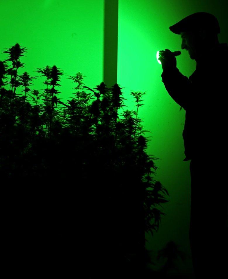 Comment cultiver du cannabis la faq d finitive for Cultiver cannabis interieur