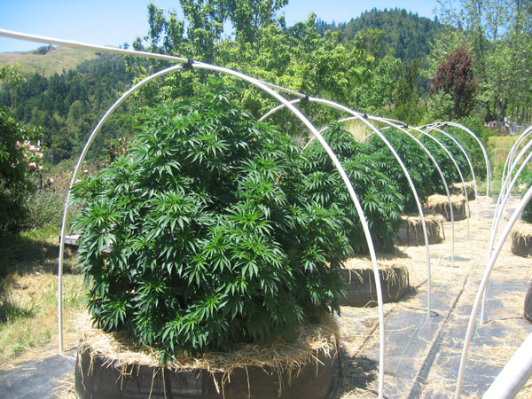 Plantation cannabis exterieur en pot 28 images for Cannabis exterieur