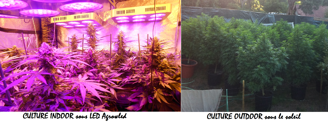 Comment cultiver cannabis interieur 28 images graines for Culture cannabis en pot exterieur