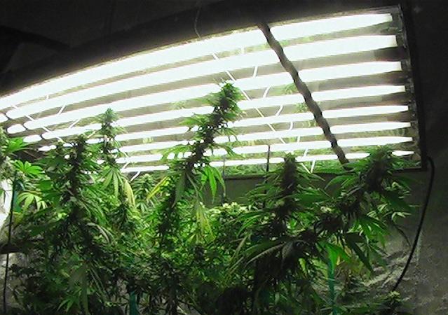 Comment-cultiver-du-cannabis-floraison-sous-neon