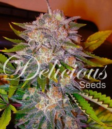 Graine de cannabis Caramelo de chez Delicious Seeds