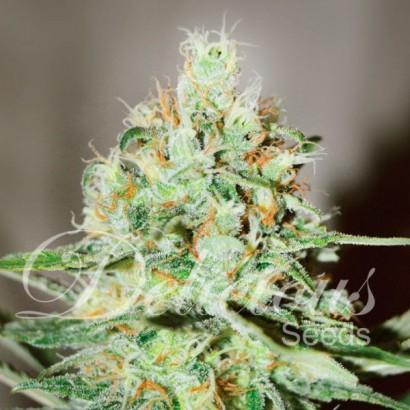 graine de cannabis Jagg Kush de chez Delicious Seeds