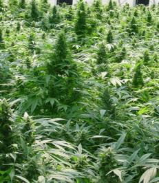 Graine de cannabis Dreamtime de chez Mr Nice Seeds