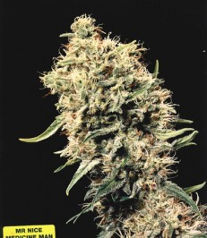 Graine de cannabis Medicine Man de chez Mr Nice Seeds